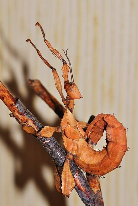 By Pavel Kirillov from St.Petersburg, Russia - Giant Prickly Stick Insect, Spiny Leaf insect, Macleay's Spectre (Extatosoma tiaratum), CC BY-SA 2.0, https://commons.wikimedia.org/w/index.php?curid=46853636
