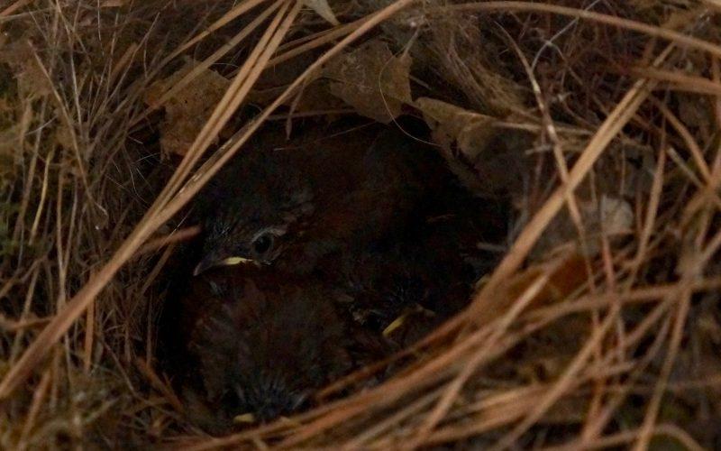 How-To-Care-For-Baby-Birds-House-Sparrow-Birds-Garden-Rebecca-Gordon-Buttermilk-Lipstick-Nesting-Birds-Southern-Entertaining-Garden-Tutorial-Birmingham-Alabama