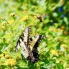 Alabama-Butterflies-Alabama-Butterflies-Eastern-Tiger-Swallowtail-Butterfly-Rebecca-Gordon-Editor-In-Chief-Buttermilk-Lipstick-Garden-Insects-RebeccaGordon-Yellow-Butterflies