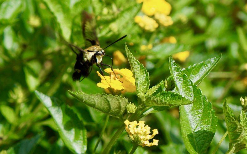 Southern-Gardens-Hummingbird-Moth-Rebecca-Gordon-Editor-In-Chief-Buttermilk-Lipstick-Garden-Entertaining-Techniques-RebeccaGordon-Pastry-Chef-Gardener-Southern-Hostess-Birmingham-Alabama