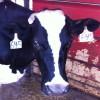 SUDIA Fresh Milk Farm Life RebeccaGordon ButtermilkLipstick