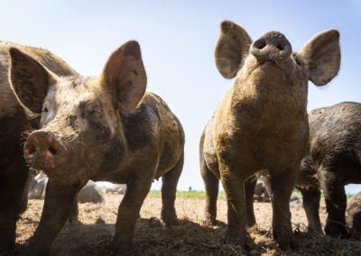 Pigs at Viva Farms in Burlington, WA.