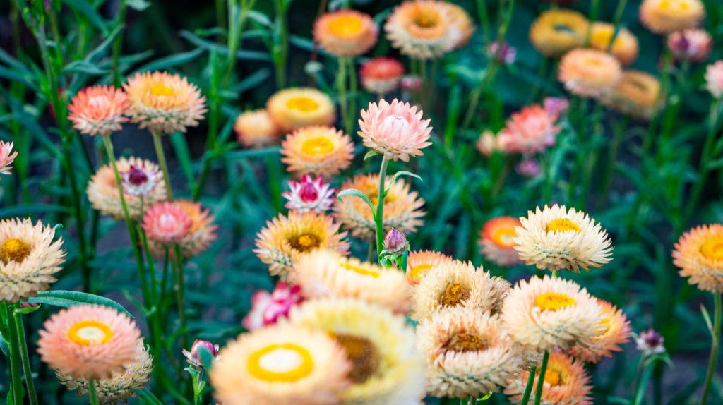 Flowers in bloom at Viva Farms in Burlington, WA.