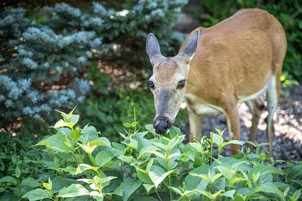 Keep Deer Out of the Garden