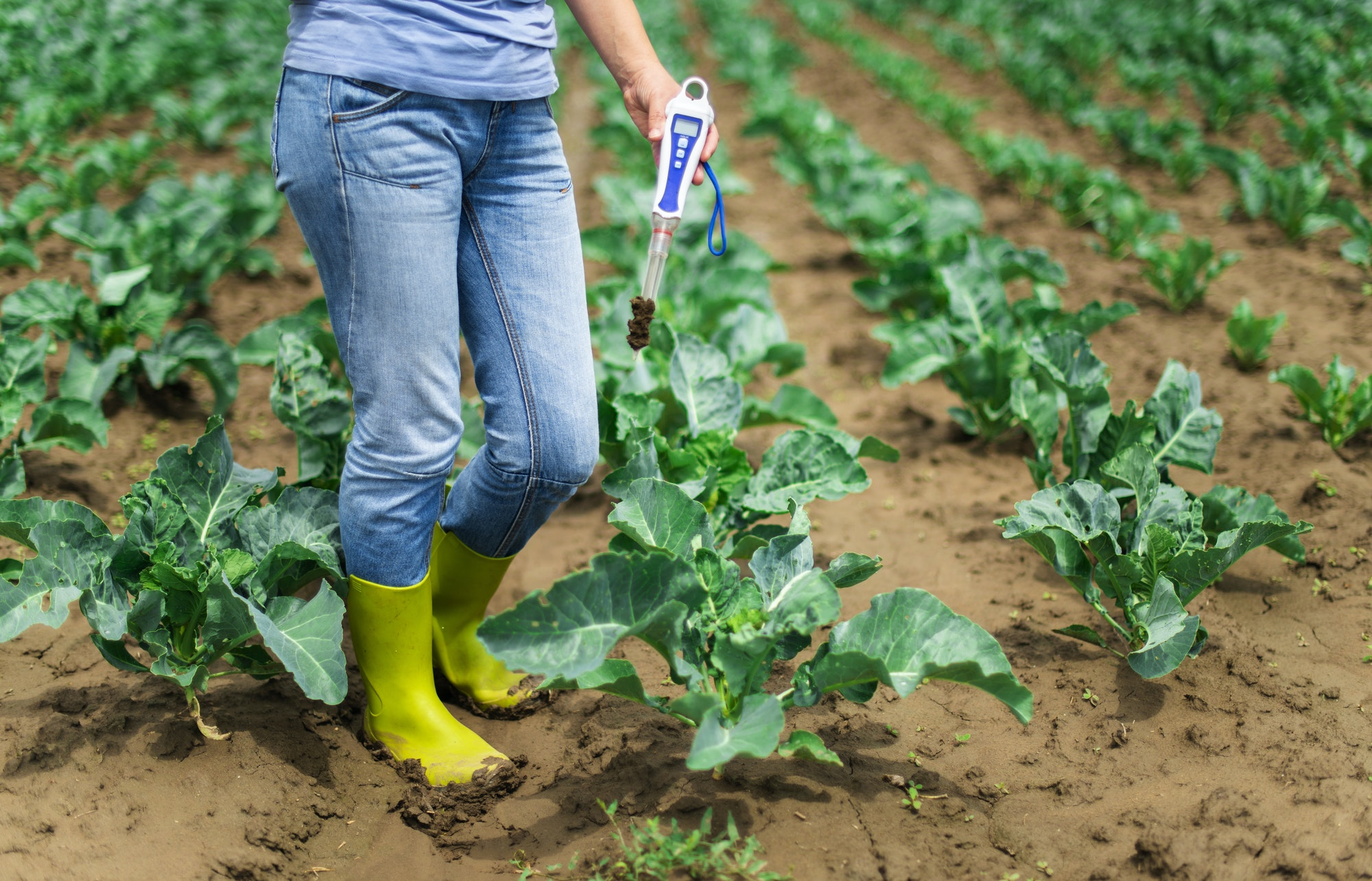 Woman use digital soil meter in the soil. Cabbage plants.
