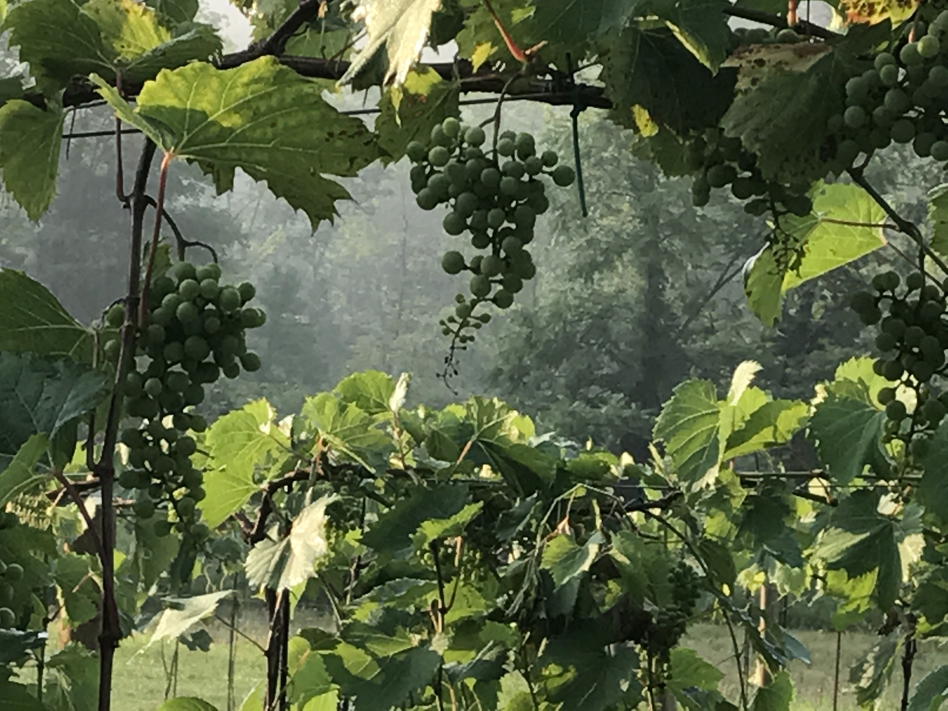 EAGLES REST CELLARS vineyard, winery and Christmas tree farm in Cherry Valley, Stroudsburg, Pennsylvania