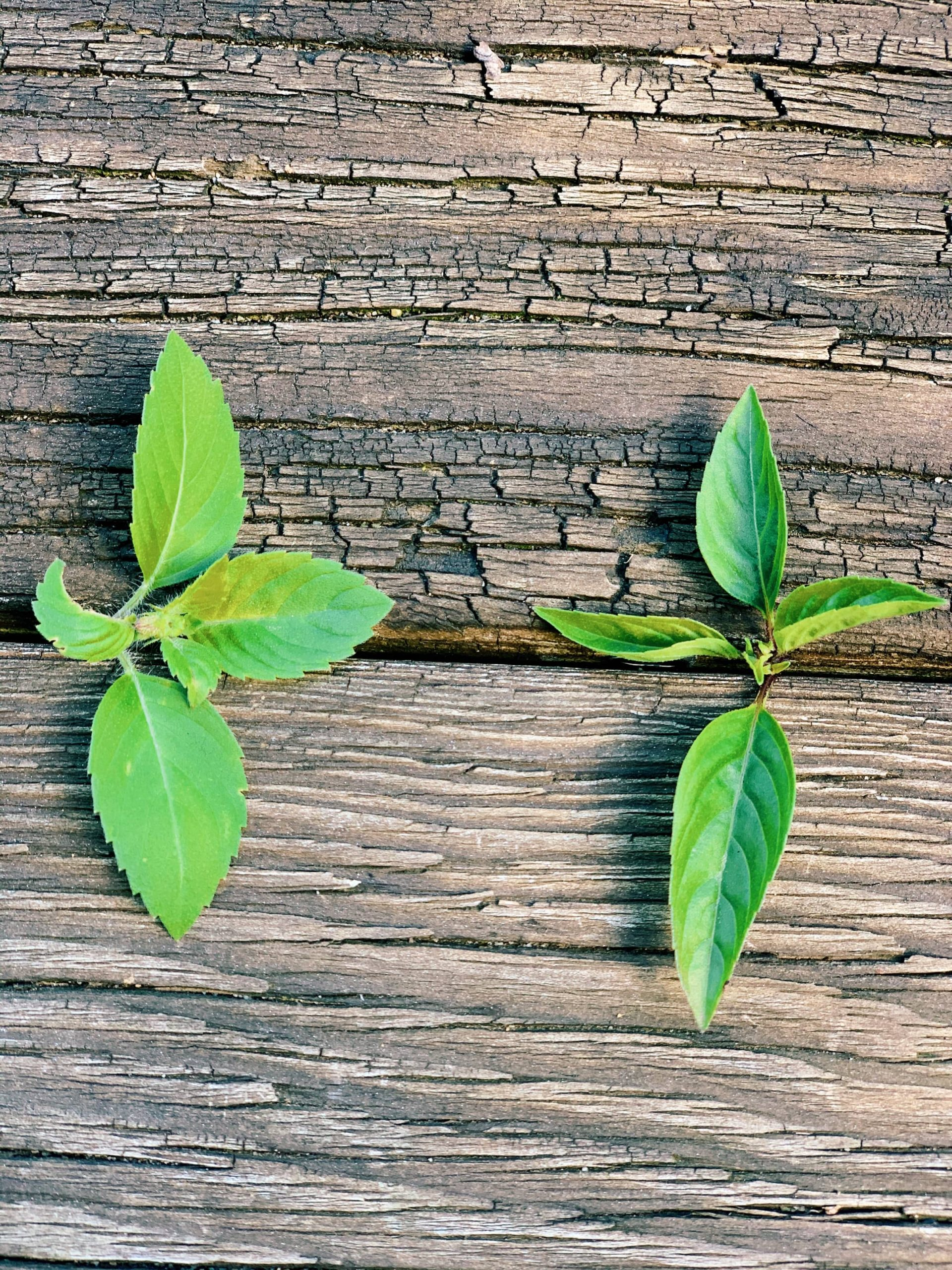 How to know the difference between Thai Basil & Thai Holy Basil   thai-foodie.com