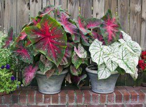 Caladium planters-red and white.