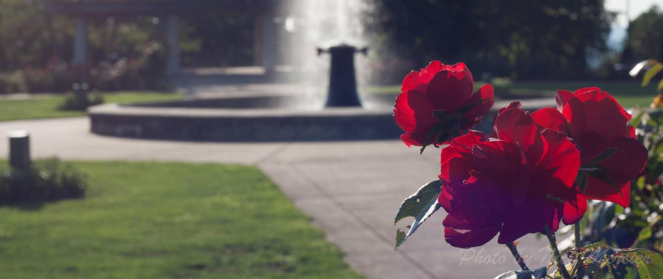 red rose nick mercier 2