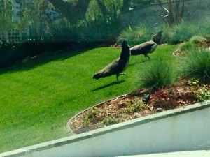 Peacocks in the Hollywood Riviera – we thought they were only prevalent in Palos Verdes???