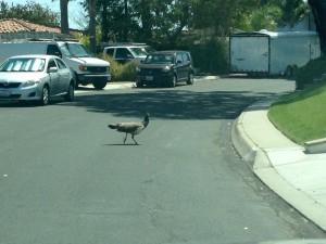 Peafowl Crossing on Calle Miramar
