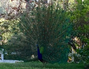 Peacocks in Rolling Hills Estates – Mating season is upon us!