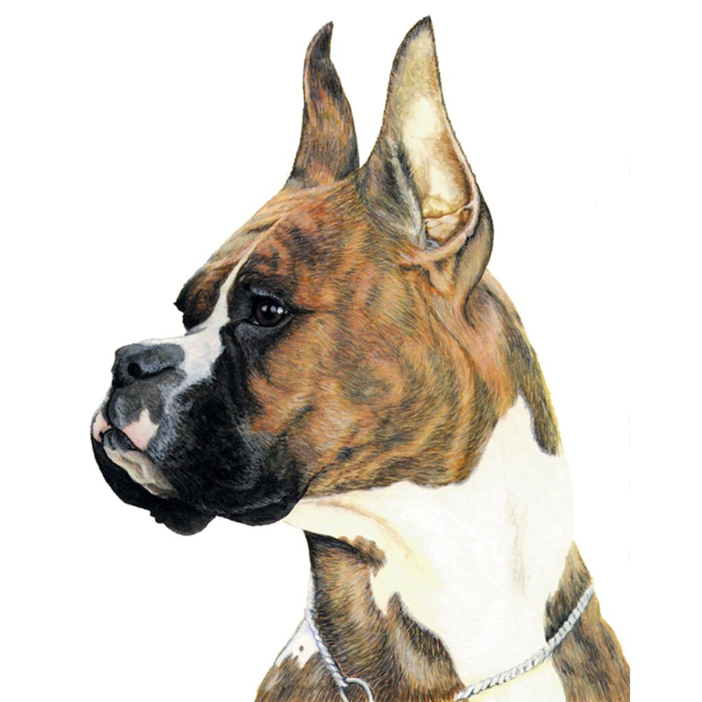 Paintings - watercolor boxer