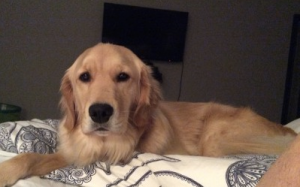 Genie, Bridget's Golden Retriever