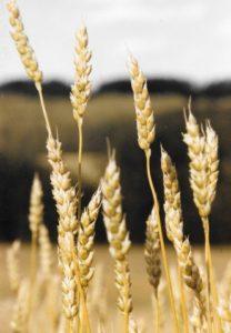 Wheat at our farm