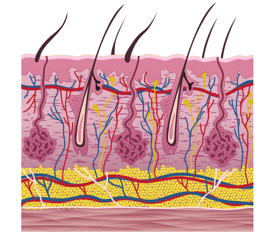 Structure of the skin