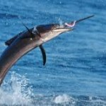 Sailfish can be caught fly fishing
