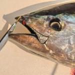 Use a jig to catch bluefin tuna
