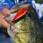 Rattlebaits catch bass