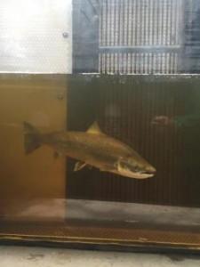 Atlantic Salmon at dam