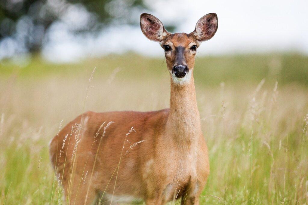 roe deer, deer, animal