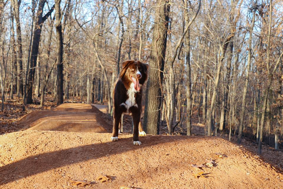 Dog stands on top of trail at Cease and Desist in Bentonville, Arkansas