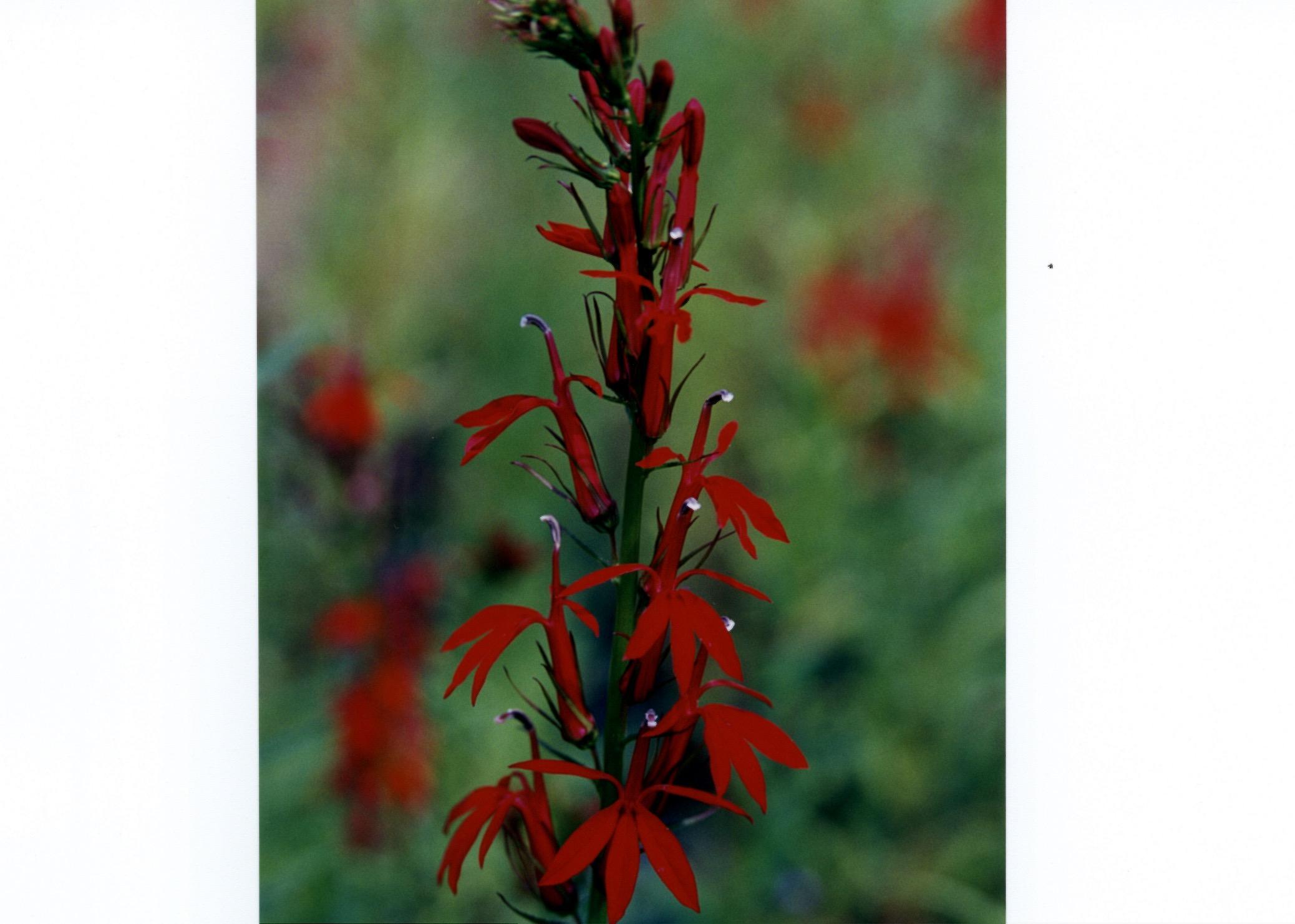 Lobelia Cardinalis red flower