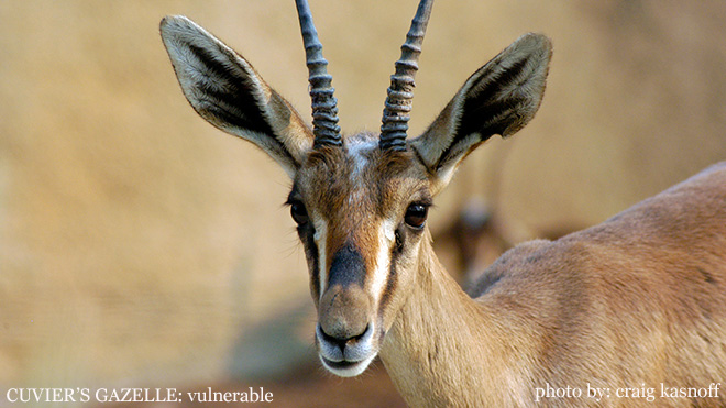 The Cuvier's gazelle is considered a threatened species. Photo by Endangered Species Journalist Craig Kasnoff.