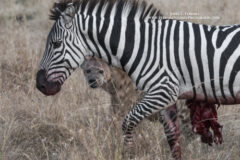 Burchell's Zebra and Spotted Hyena