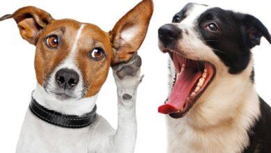Descubren que los perritos detectan si tienes covid-19