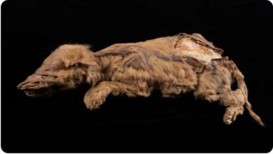 Encuentran un cachorrito de lobo de más de 57,000 años 😯