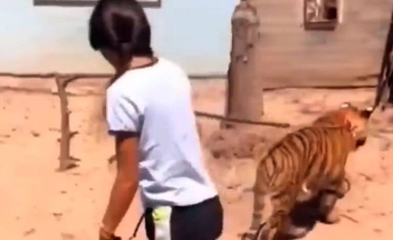Niña pasea a su tigre en Sinaloa 🐯