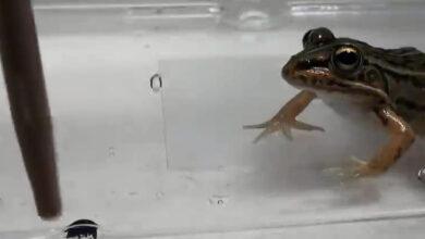 Escarabajo escapa por el tracto digestivo de una rana luego de ser tragado