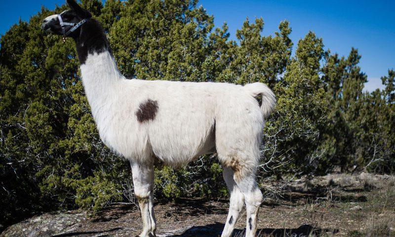 Cisco Wilderness Llama