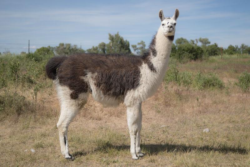 WRTL Draigo The Llama