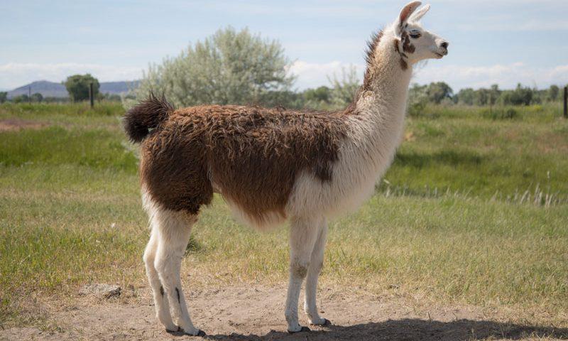 Keefe WRTL Llama