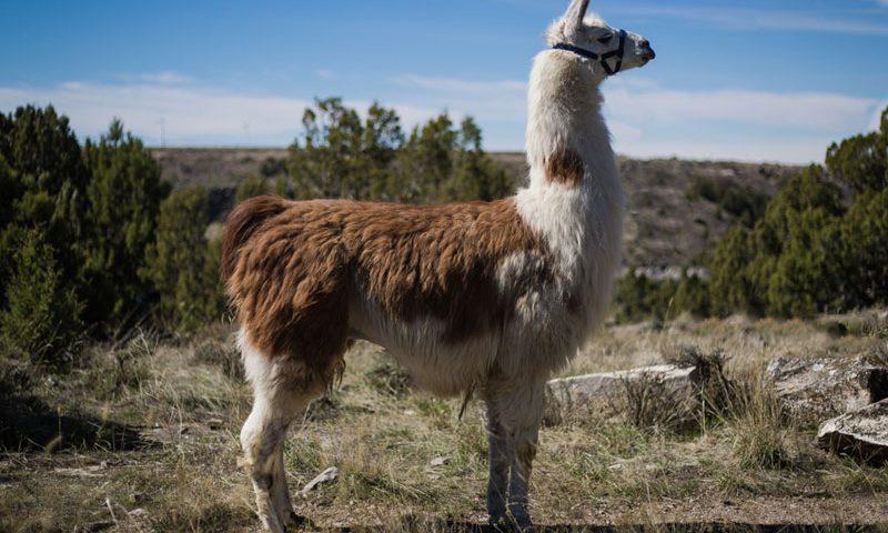 McShane Breeding Llama
