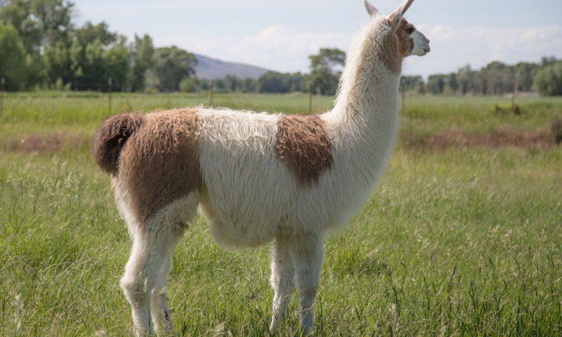 WRTL Wolfgar Stud Breeding Llama