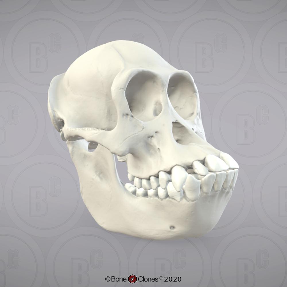 Bonobo Skull, FemaleRBC-123