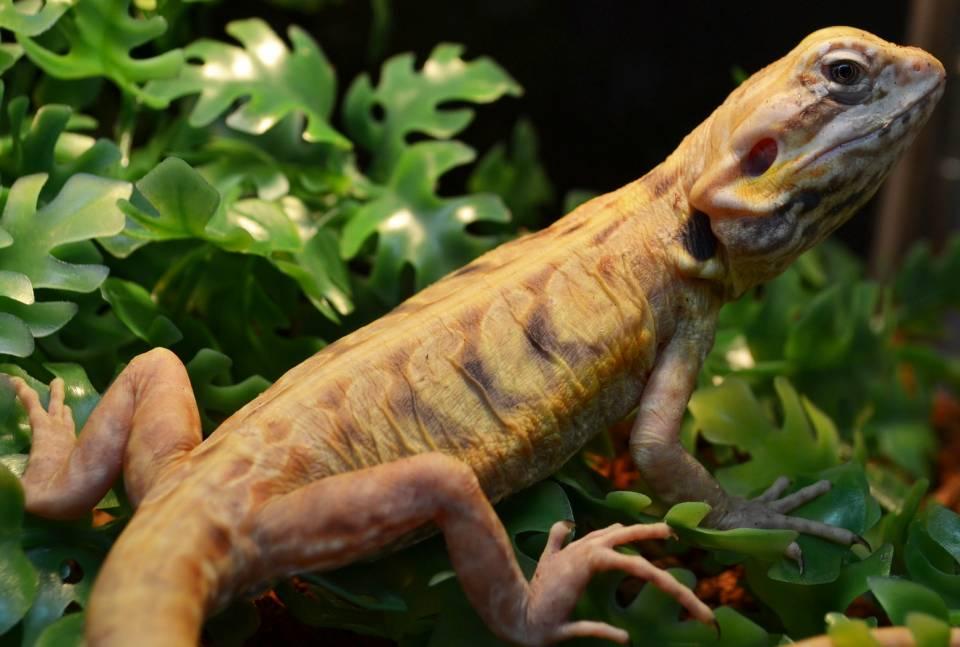Baby-Silkback-bearded-dragon