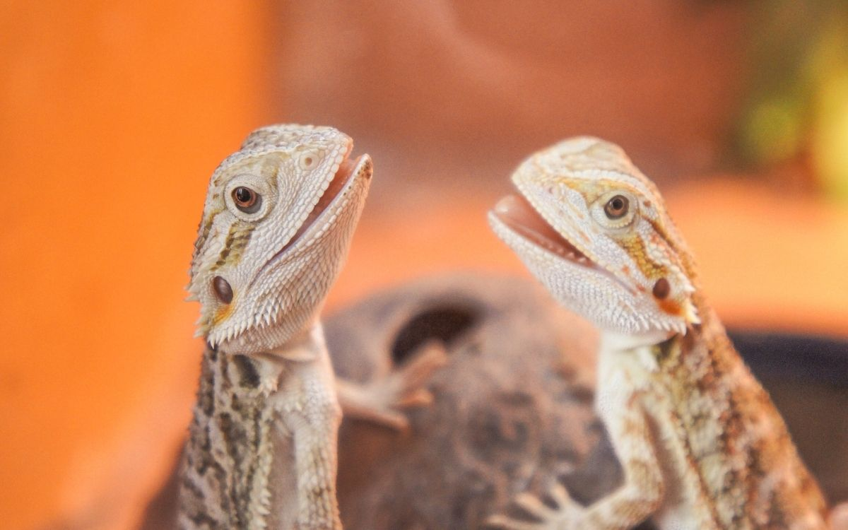 Baby-bearded-dragons-with-teeth-showing
