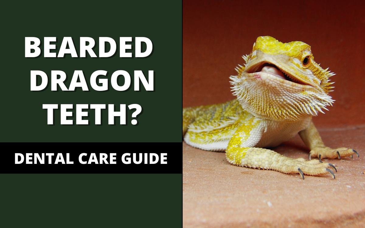Bearded Dragon Teeth Banner