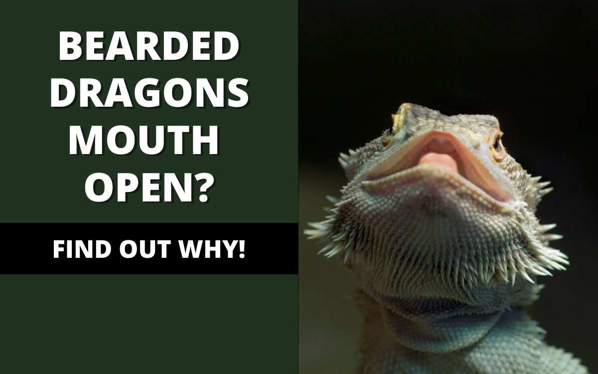 Bearded-dragon-mouth-open-banner