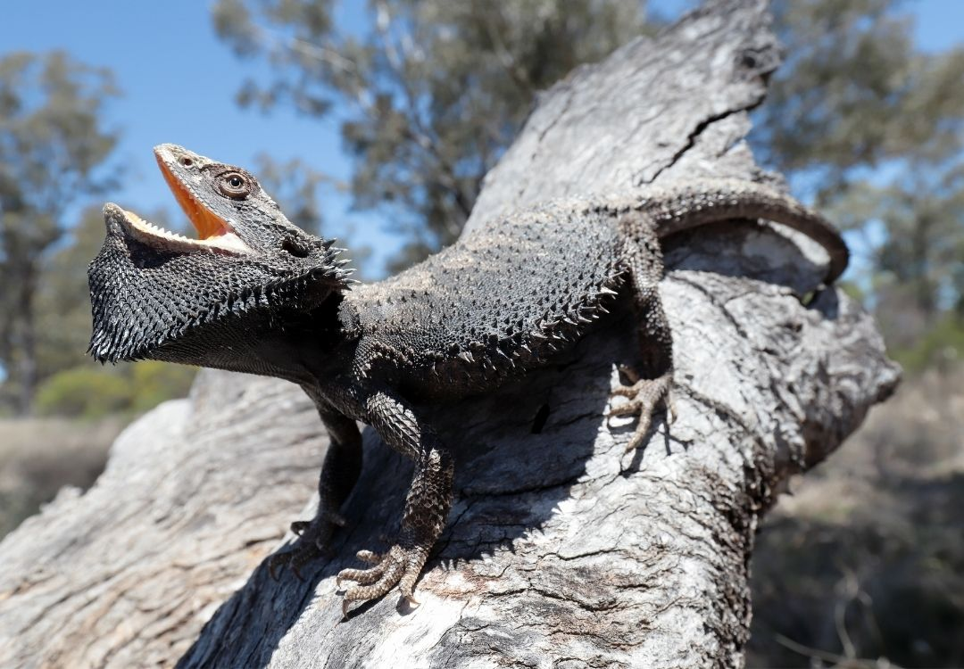 Bearded-dragon-stretching-its-mouth