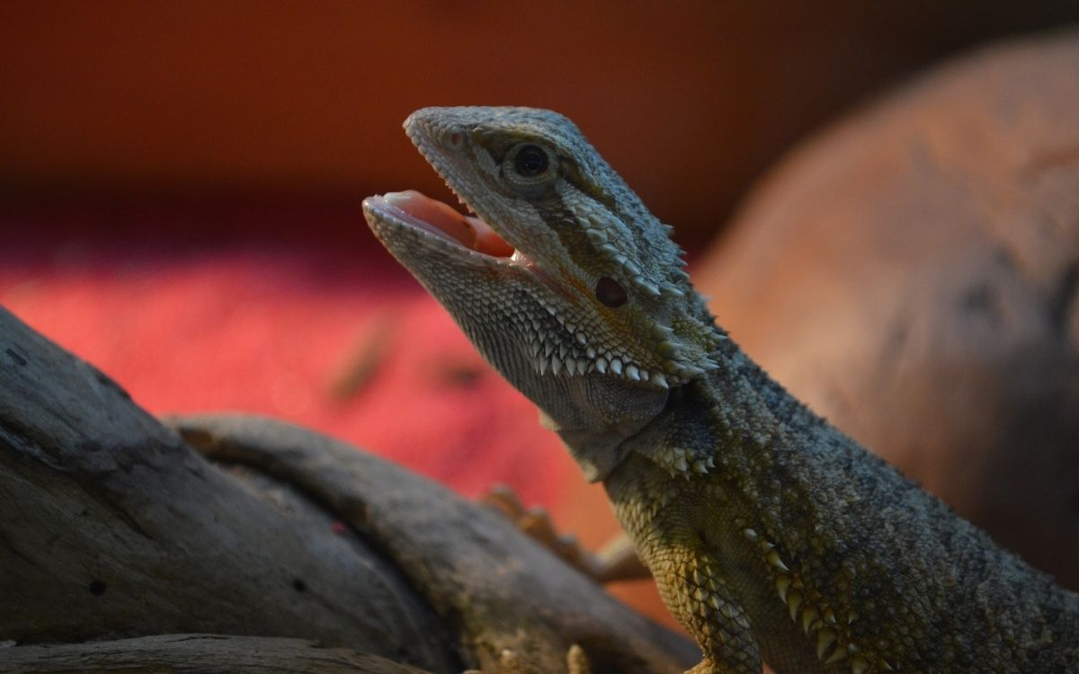 Bearded-dragon-with-its-mouth-open