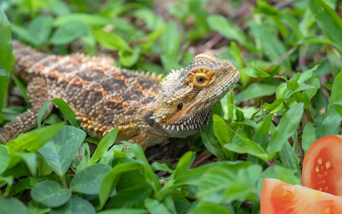 Image-of-bearded-dragon-looking-at-tomato