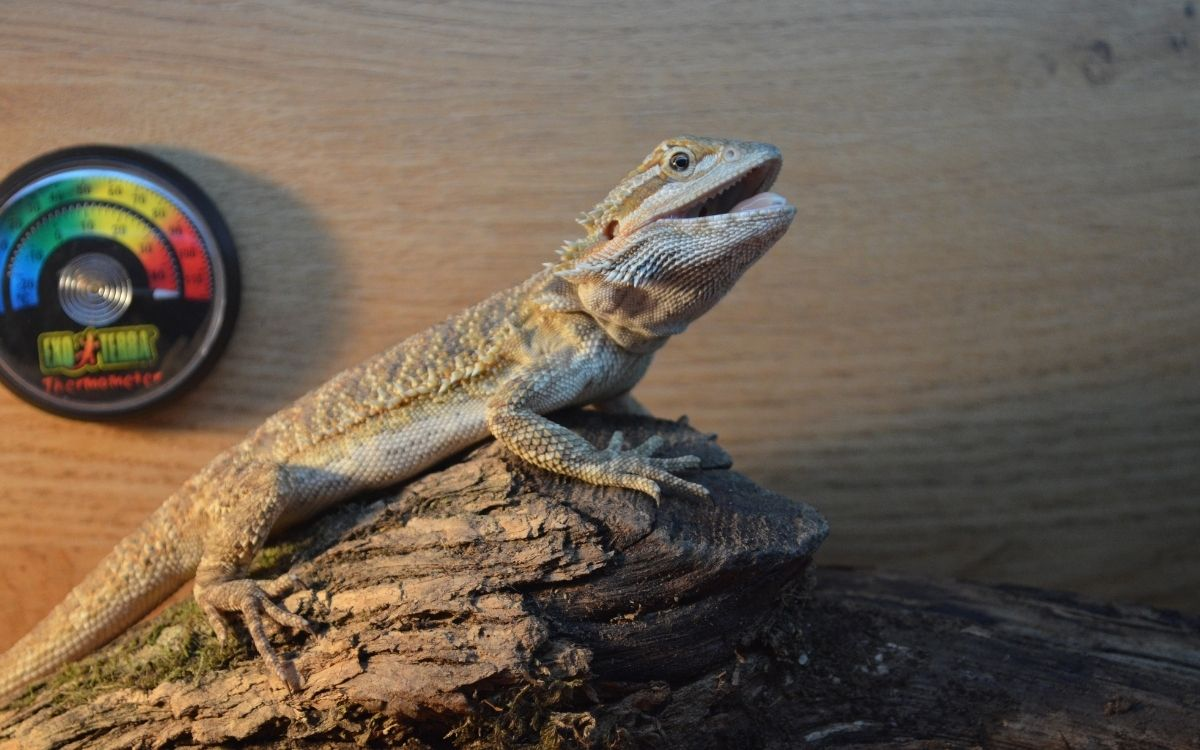 bearded-dragon-basking-with-its-mouth-open