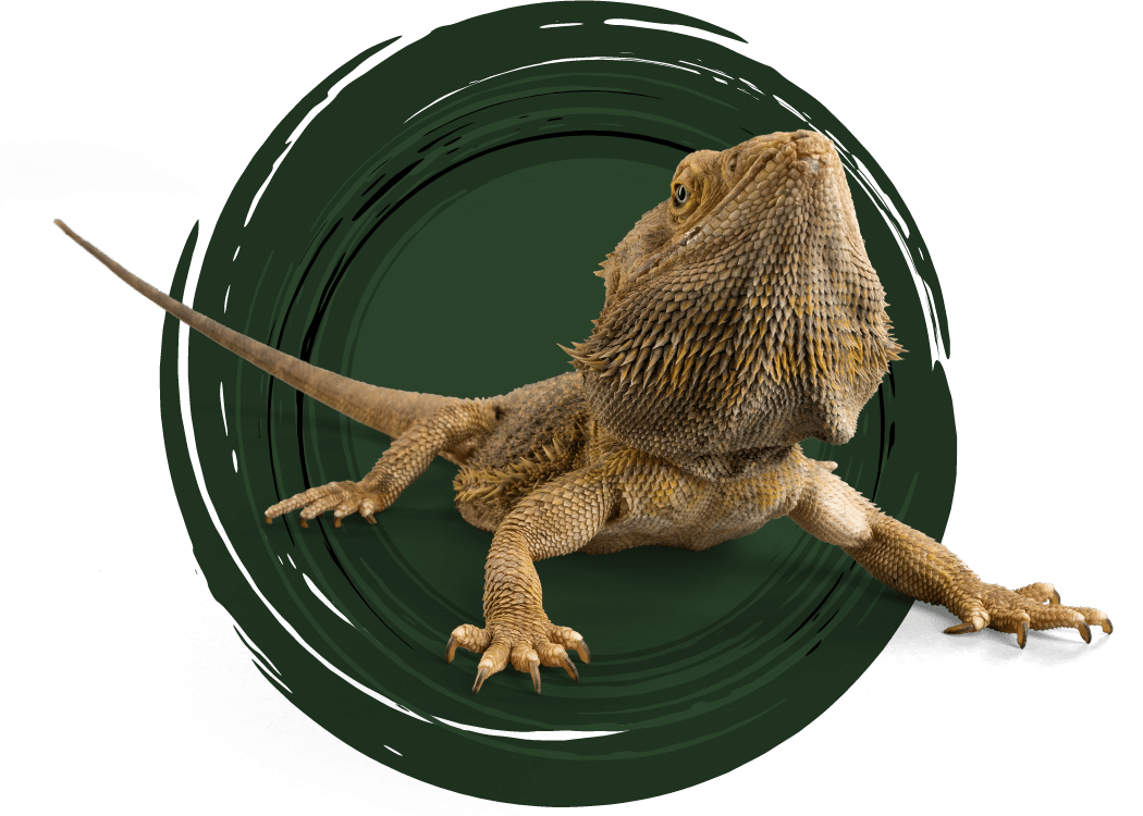 bearded-dragon-care-guide