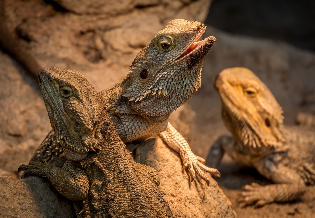 bearded-dragon-mouth-open-displaying-dominance