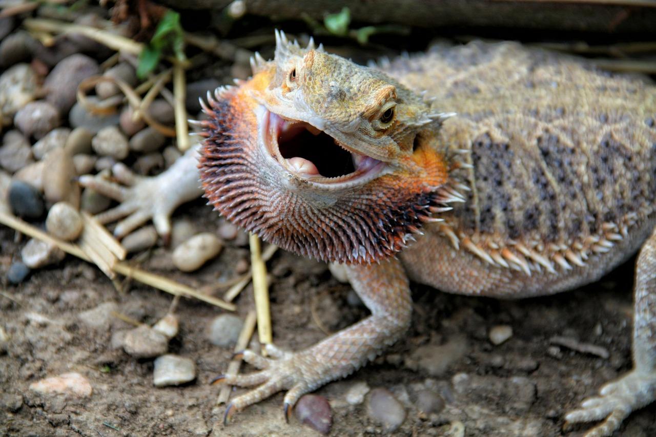 bearded-dragon-teeth-exposed